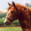 Headshot picture of brown horse