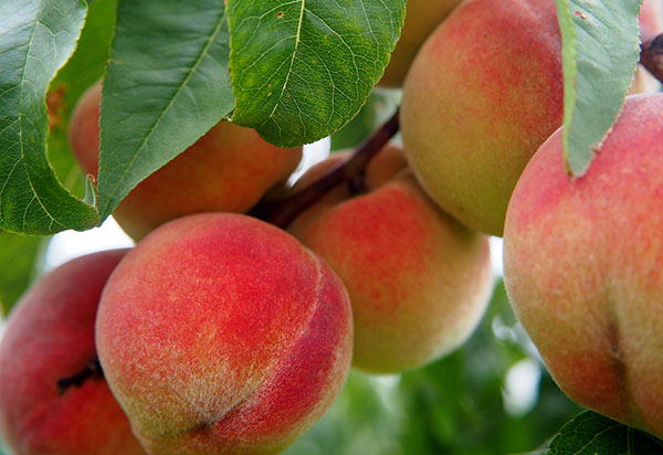 Caring for fruit trees?