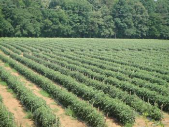 Rows of tomato plants in field with trees lining the field in the background