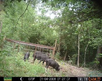 Calhoun County demo of feral hogs being trapped in pen