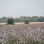 two cotton pickers harvesting cotton
