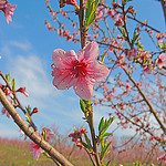 spring peach bloom
