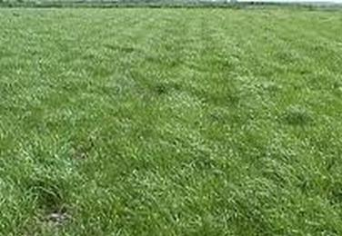 Field of green ryegrass