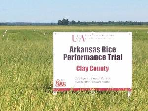 Arkansas Rice Performance Trials Clay County in front of a rice field