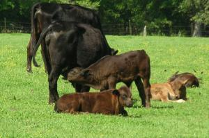 Calf nursing mother with other calves laying down