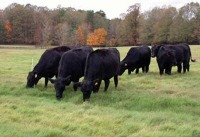6 black cows grazing in a field, Hardwood trees in background