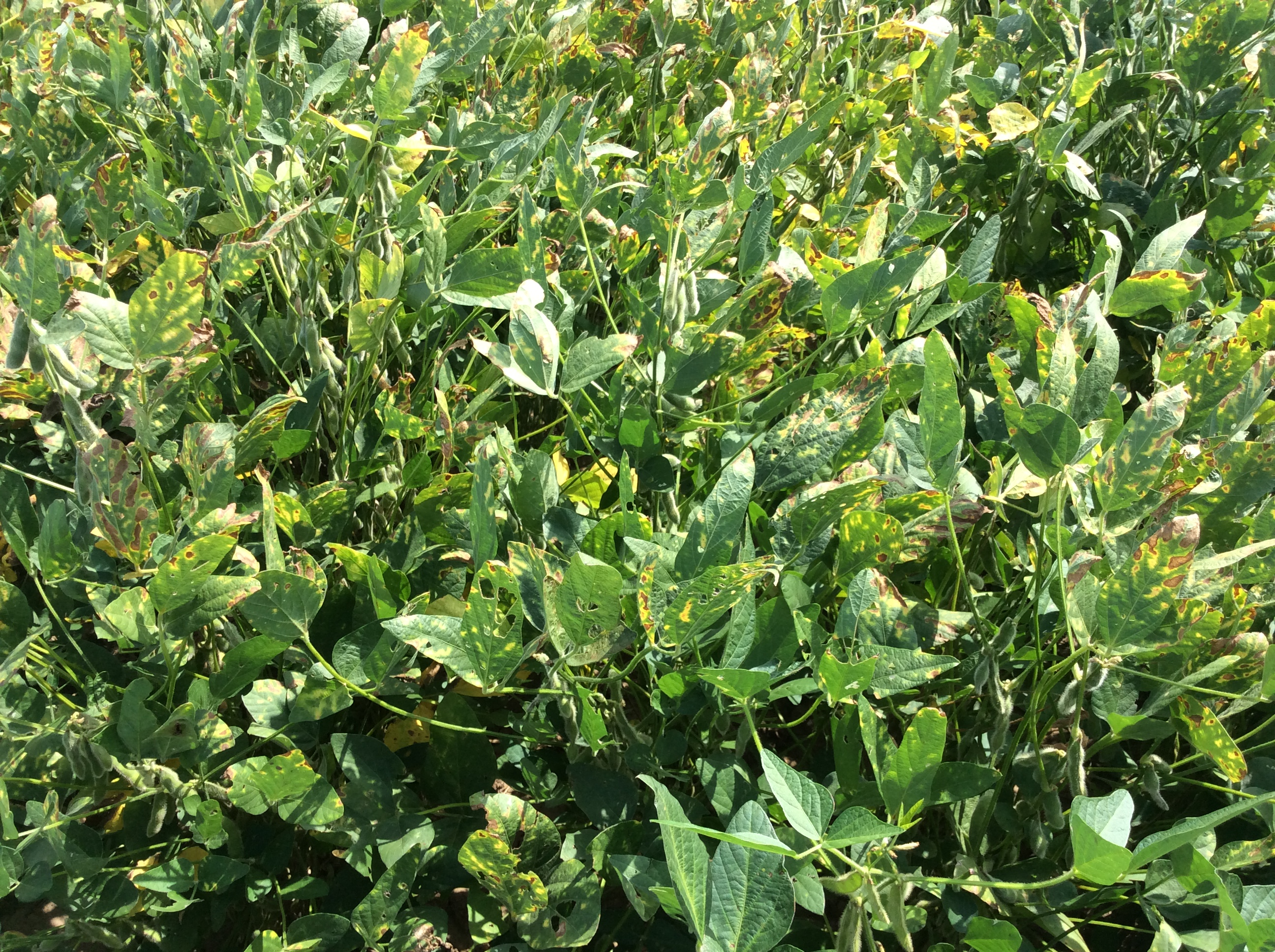 Sudden Death Syndrome SDS on Liberty Link Soybeans