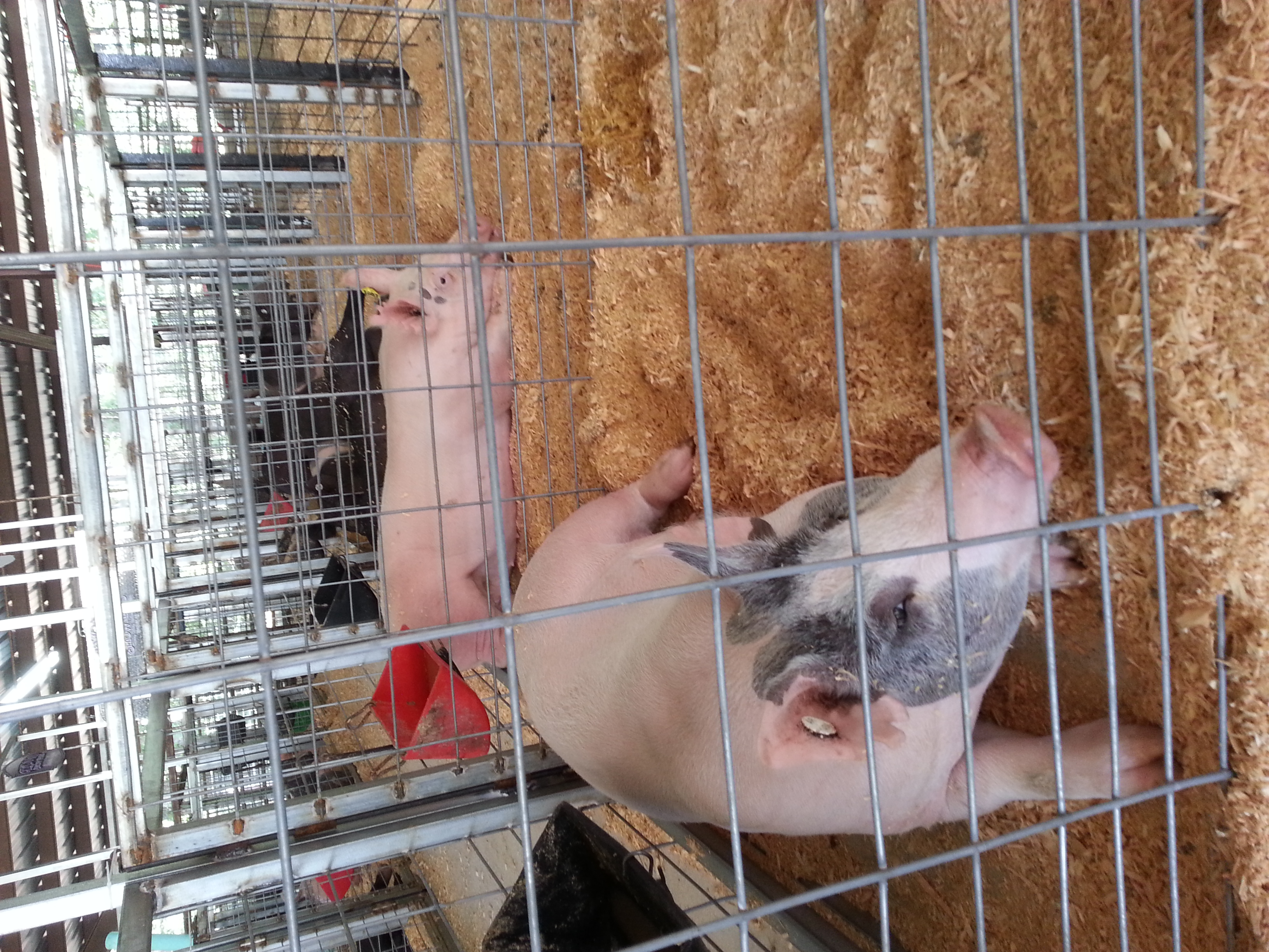 youth pigs at the county fair