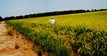 man scouting rice field