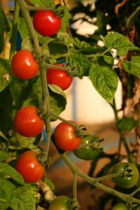 Tomato Plant with small bright red tomatoes