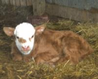 red and white calf in barn