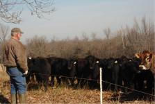 Man standing looking at black cattle behind fence