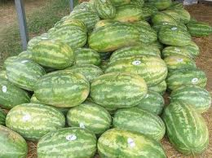 Sharp County, Arkansas pile of watermelons