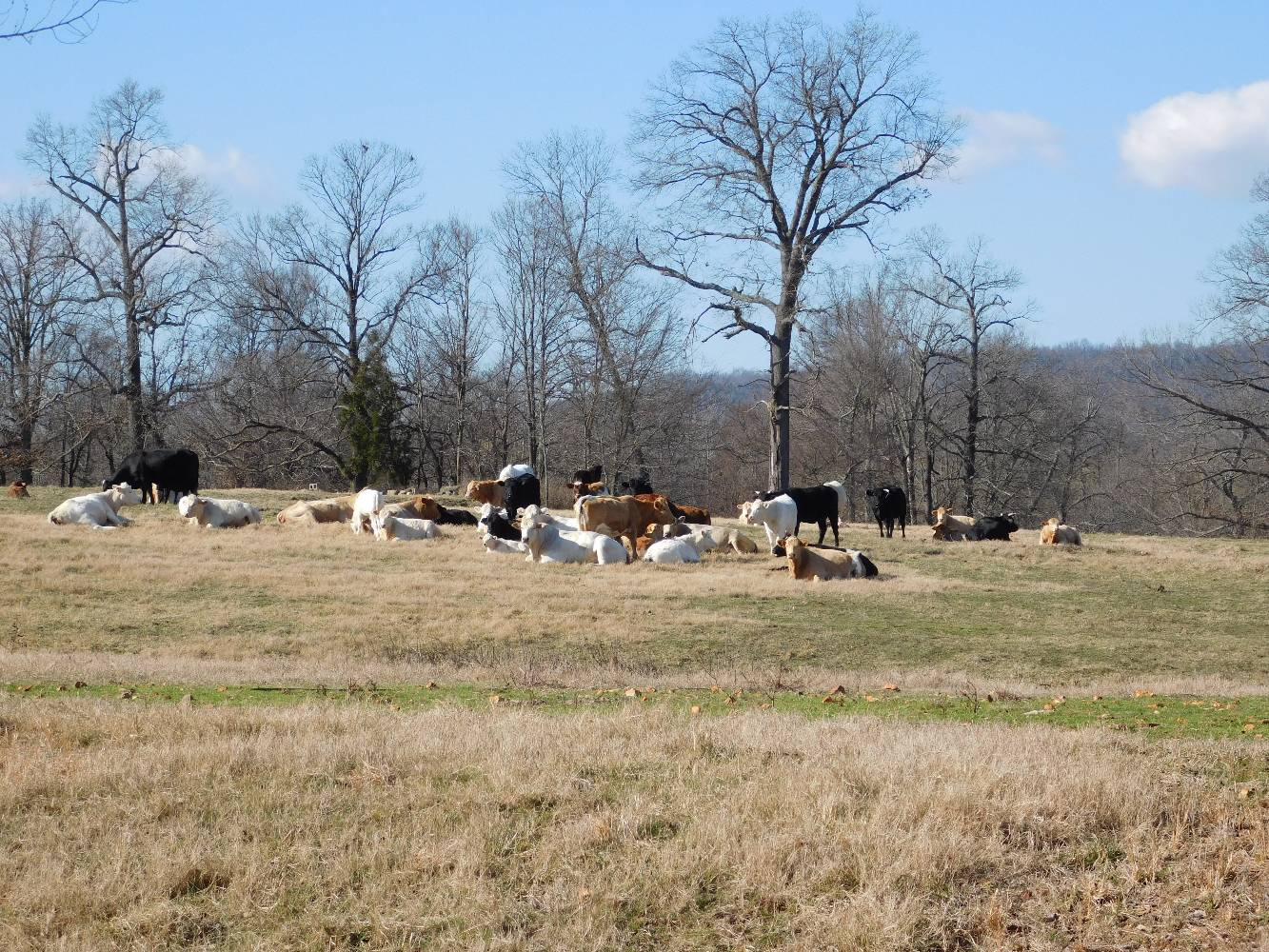 Cattle laying in a pasture