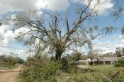 Tree with 50% of damaged crown | Disaster Recovery | Environment & Nature | Arkansas Extension