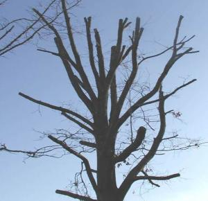 Tree with top cut out | Disaster Recovery | Environment & Nature | Arkansas Extension