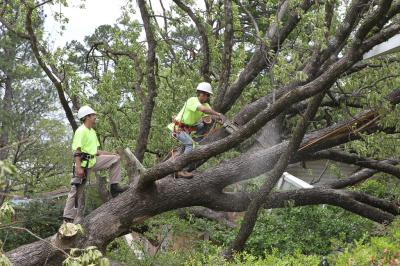 Arborists with safety ropes cutting down tree | Storm Damage | Disaster Recovery | Environment & Nature | Arkansas Extension