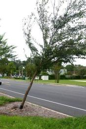 Young tree leaning from storm damage | Disaster Recovery | Environment & Nature | Arkansas Extension