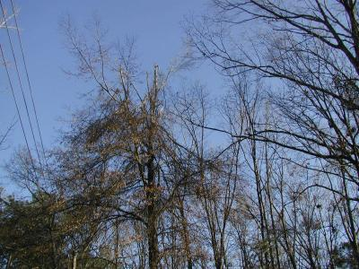 Oak tree with a broken top from ice damage | Disaster Recovery | Environment & Nature | Arkansas Extension