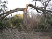 Tree with split trunk | Disaster Recovery | Environment & Nature | Arkansas Extension