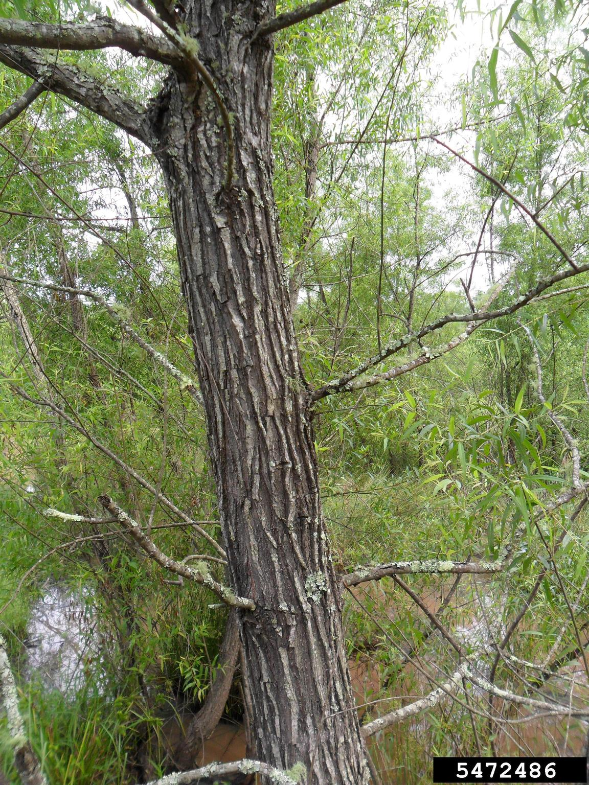 picture of a blackwillow tree