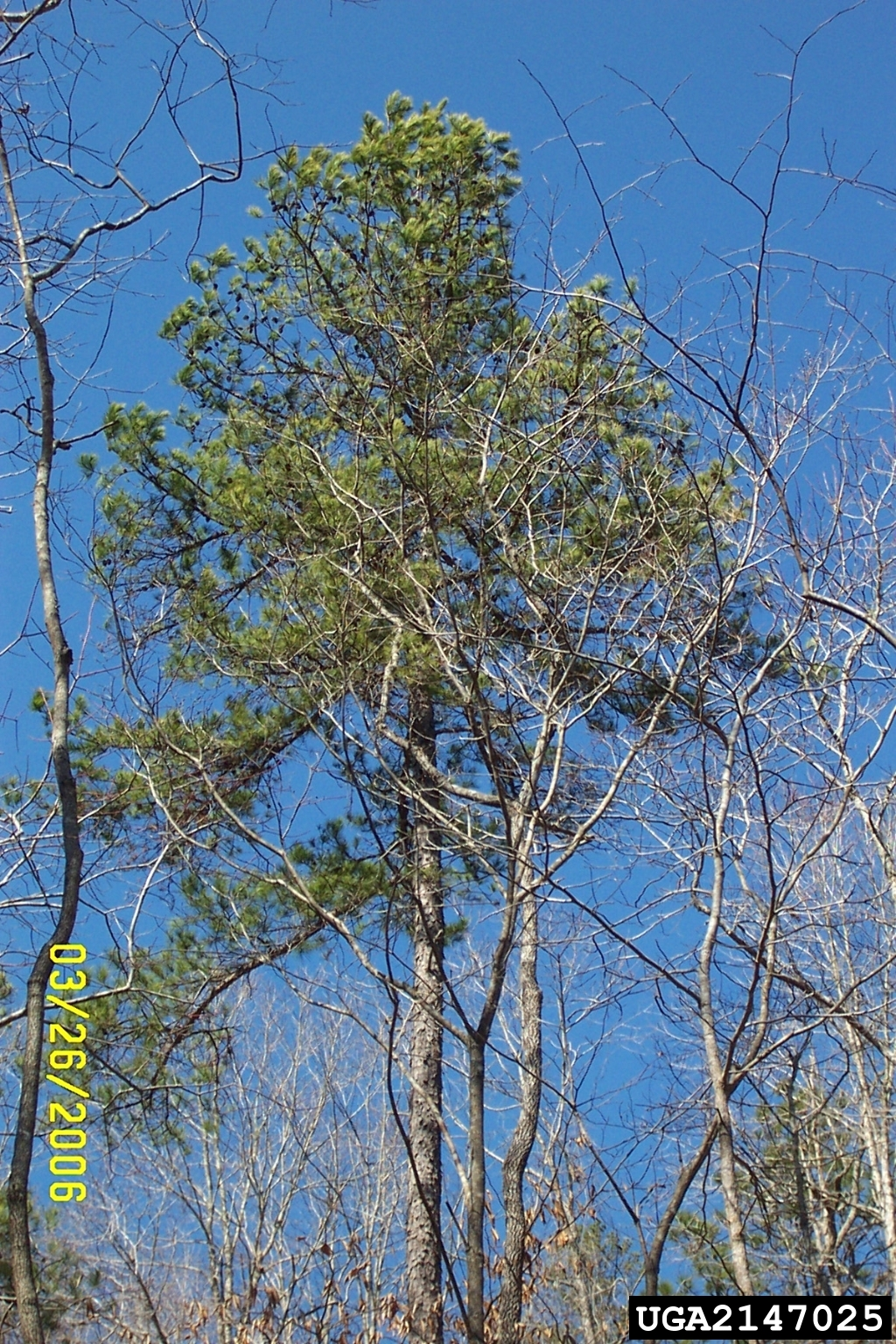 picture of a shortleaf pine tree