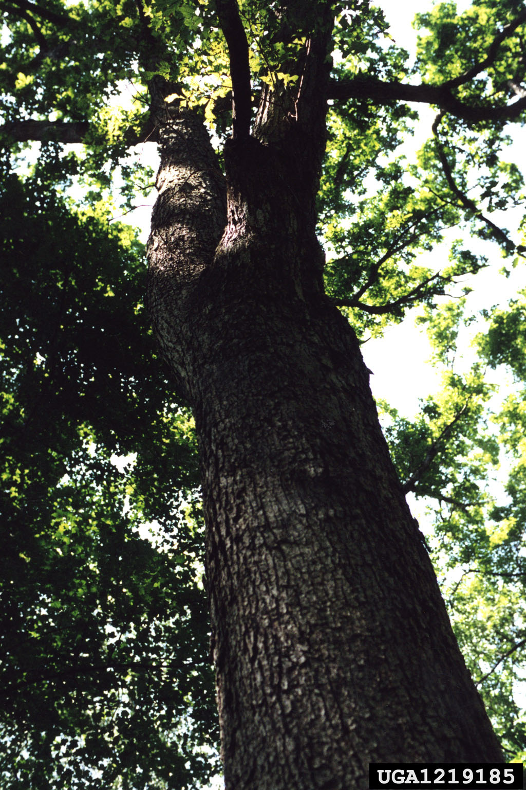 picture of a large green white oak tree