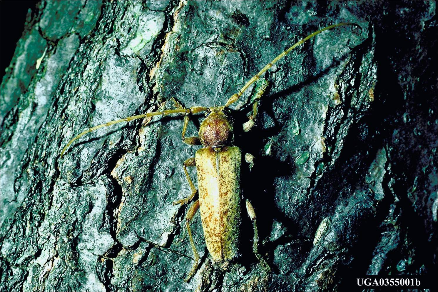 image of a long-horned beetle on an oak tree