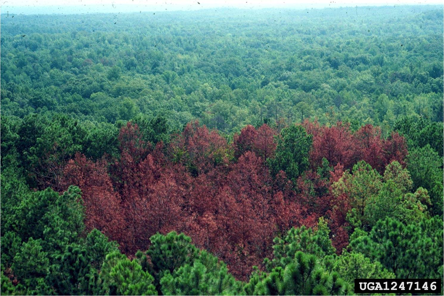 Photo of a dead area of pines from an aerial view