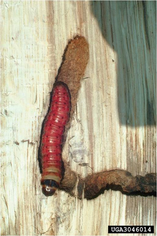 Carpenter worm