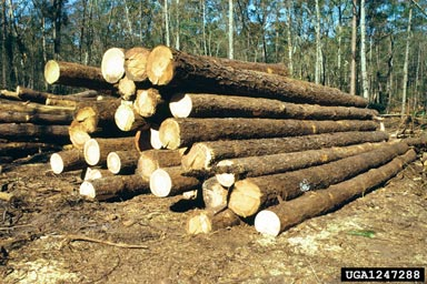 Picture of a pile of hardwood sawtimber