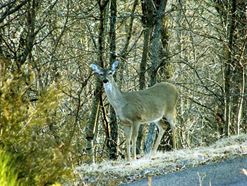 picture of a white-tailed deer on the edge of the woods