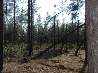 Ice damage in pine woodland