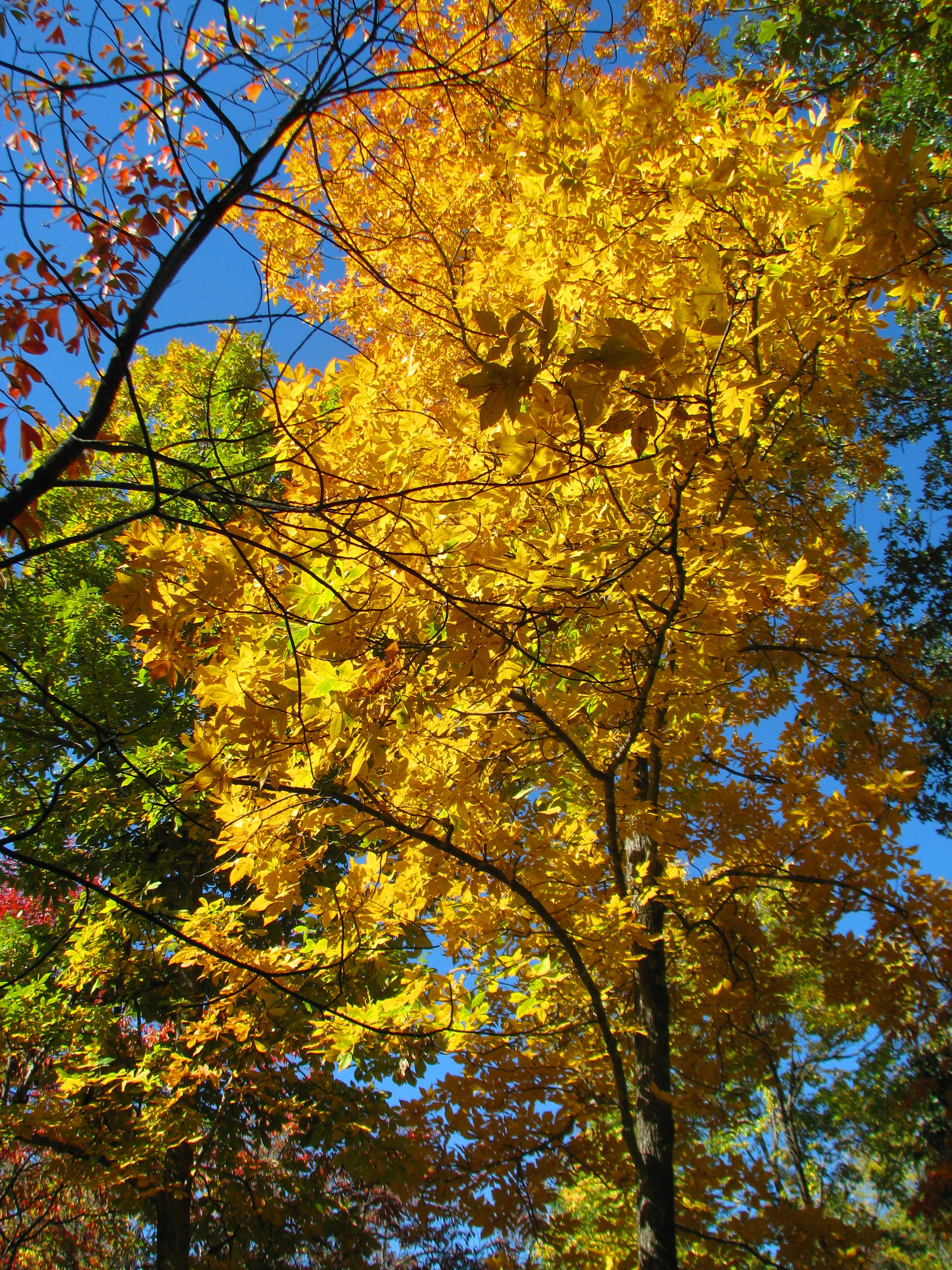 Picture of a hickory tree with yellow leaves