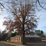 Oak tree in an urban setting in Arkansas