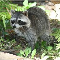 Dealing with Wildlife | Raccoon
