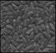 Scattered black oil sunflower seeds with a black shell.