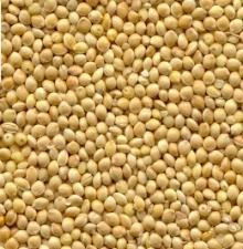 Scattered white proso millet seeds which are small, round, and yellow.