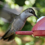 A female ruby-throated hummingbird's wings are blurry while she hovers over a port for a partially-discerable sugar water feeder.