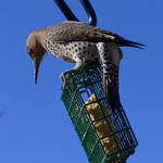 Northern flicker purched on top of a wire cage containing suet