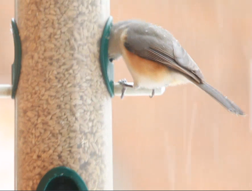 A tufted titmouse perched on a seed feeder with its head inside the hole.
