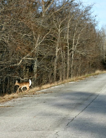 Deer on shoulder of roadway after crossing