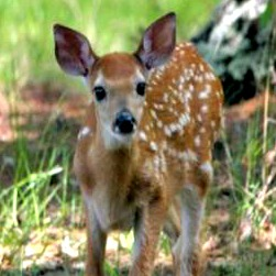 Spotted fawn standing and facing forward