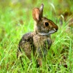 Rabbit image by Stephen Kirkpatrick USDA NRCS