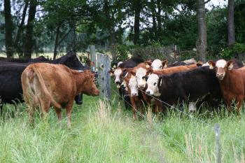 Cattle standing facing each other across a fence
