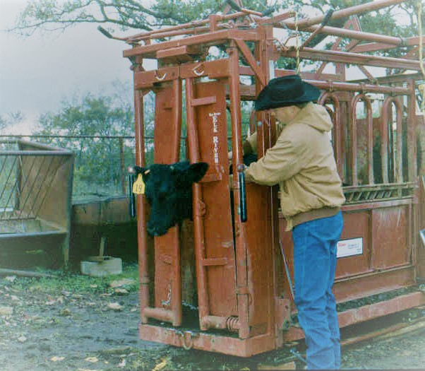 Cattle processing image in squeeze chute