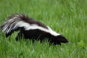skunks can cause EPM