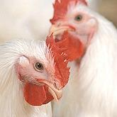 Headshot picture of two white Leghorn chickens