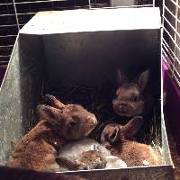 Rabbit-babies in nest box