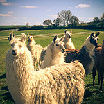 Picture of llamas